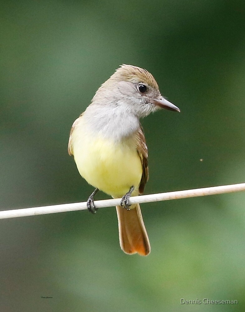 Great Crested Flycatcher by Dennis Cheeseman