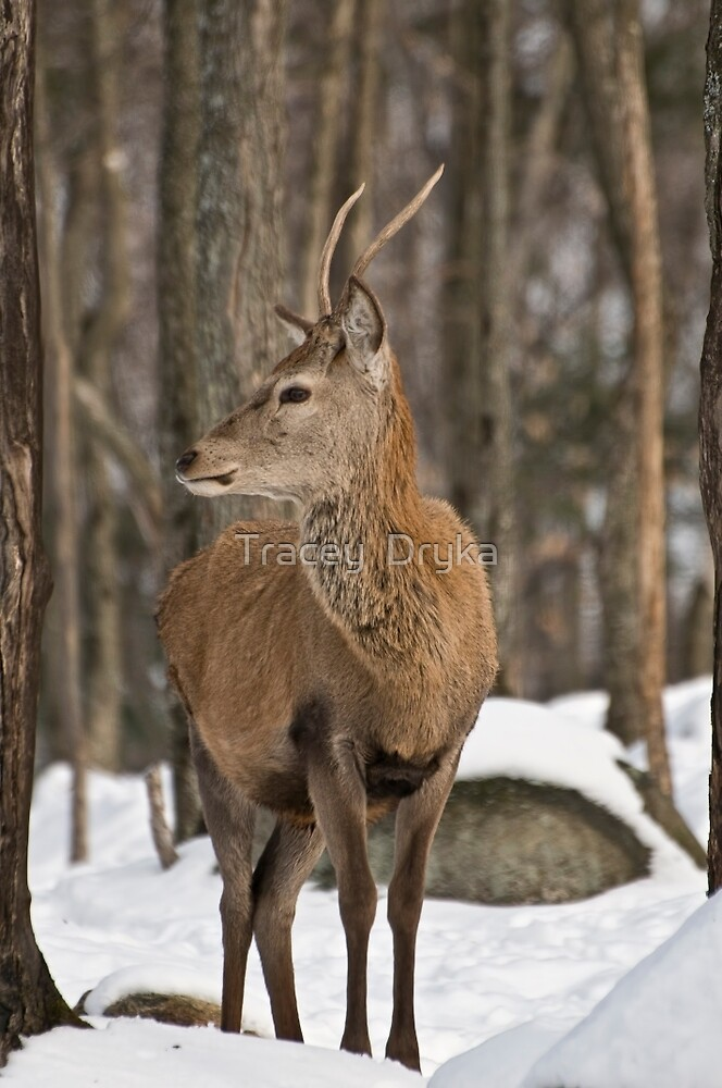 Young buck by Tracey  Dryka