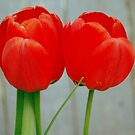 Twin Red Tulips by MandaP