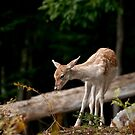 Fallowdeer - Parc Omega, Montebello, PQ by Tracey  Dryka