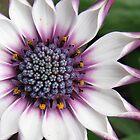 Das Herz eines Kap-Gänseblümchens von BlueMoonRose