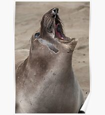 Juvenile Northern Elephant Seal, Mirounga angustirostris Poster