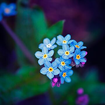 Forget Me Not Flowers by InspiraImage