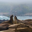 Two young Northern Elephant Seals,  mirounga angustirostris, challenge each other. by Eyal Nahmias