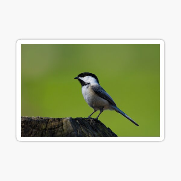 Chickadee Sticker