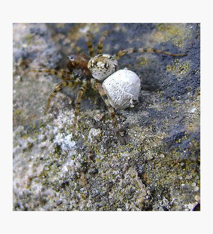 spider with egg sac (Aberdour beach) Photographic Print
