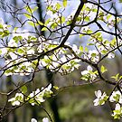 Picturesque Dogwood Branches by ckroeger