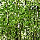 Into the Woods - Healing Power of Birches by KnutsonKr8tions
