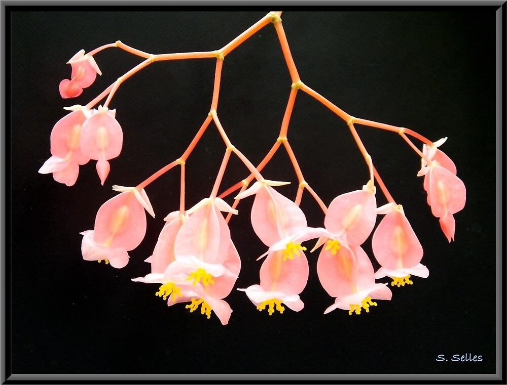 Pink Flowers on Black Background by Steven Selles