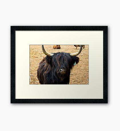 Highland Cattle #2 Framed Print