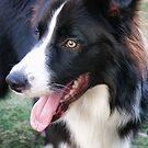Border Collie by Murray Swift