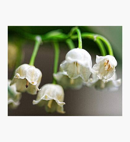 Lily-of-The-Valley - Bridgton,  Maine Photographic Print