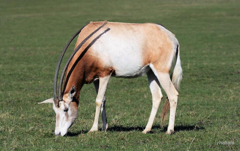 Scimitar horned oryx  by rhallam