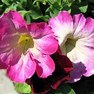 Pink and Crimson Petunias by Kathryn Jones