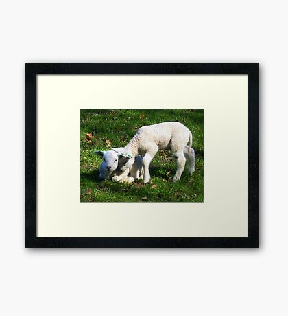 Two little Lamb Framed Print