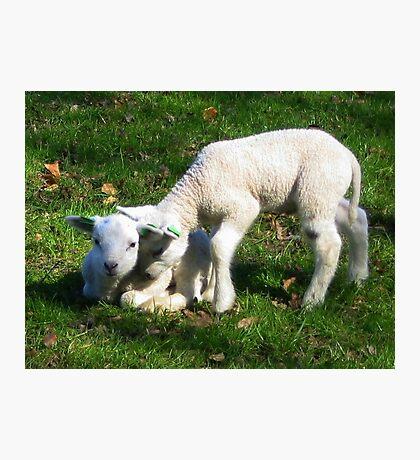 Two little Lamb Photographic Print