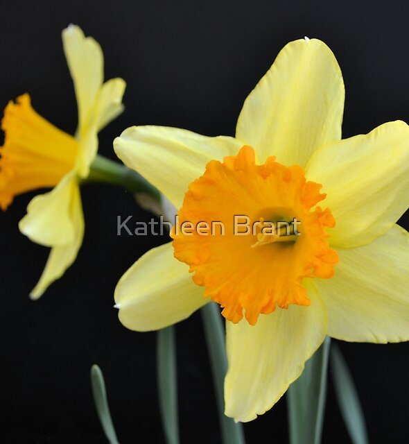 A Pair of Daffodils by Kathleen Brant