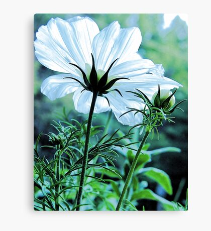 Cosmos - First To Flower --- Bridgton,  Maine Canvas Print