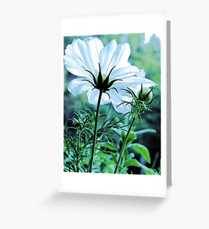Cosmos - First To Flower --- Bridgton,  Maine Greeting Card