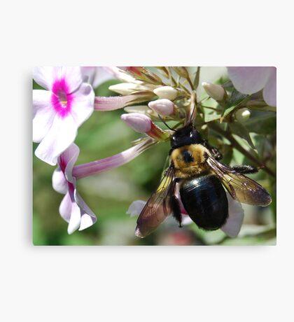 Carpenter Bee Canvas Print