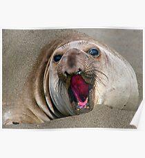 Northern Elephant Seal,  mirounga angustirostris, Poster