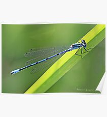 Azure Damselfly, coenagrion puella, clinging to a blade of grass.  Poster