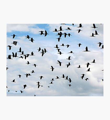 White-faced Ibis ~ Flock Photographic Print