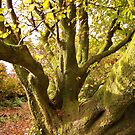 ANCIENT BEECH TREE by Richard Brookes