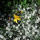 Summer white by Bluesrose