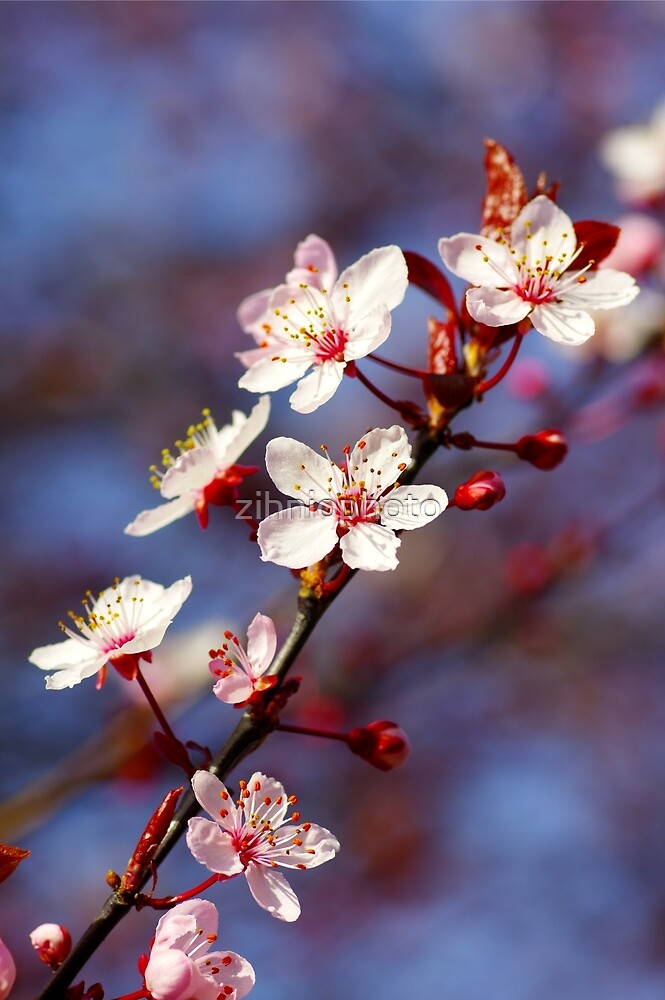 Cherry Blossoms  by zihniophoto