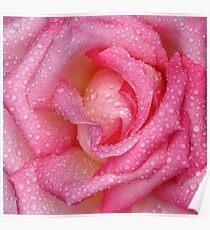 Macro pink rose with rain drops Poster