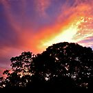 Flame Tree by JimMcleod