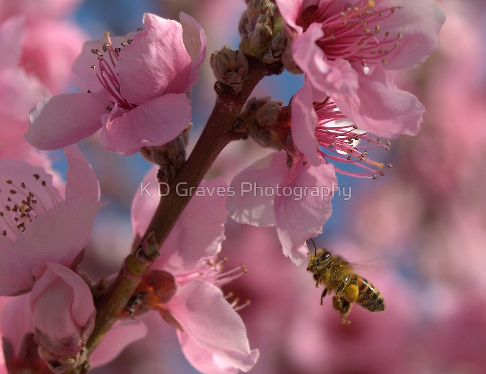 Peach Blossoms with a Honey Bee by K D Graves Photography
