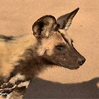 IN PROFILE - Lycaon pictus – WILD DOG – WILDE HOND [ ENDANGERED SPECIES] by Magriet Meintjes