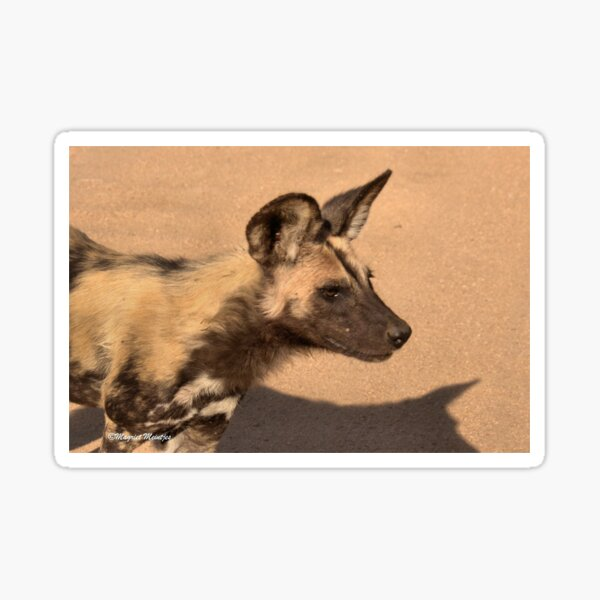 IN PROFILE - Lycaon pictus – WILD DOG – WILDE HOND [ ENDANGERED SPECIES] Sticker