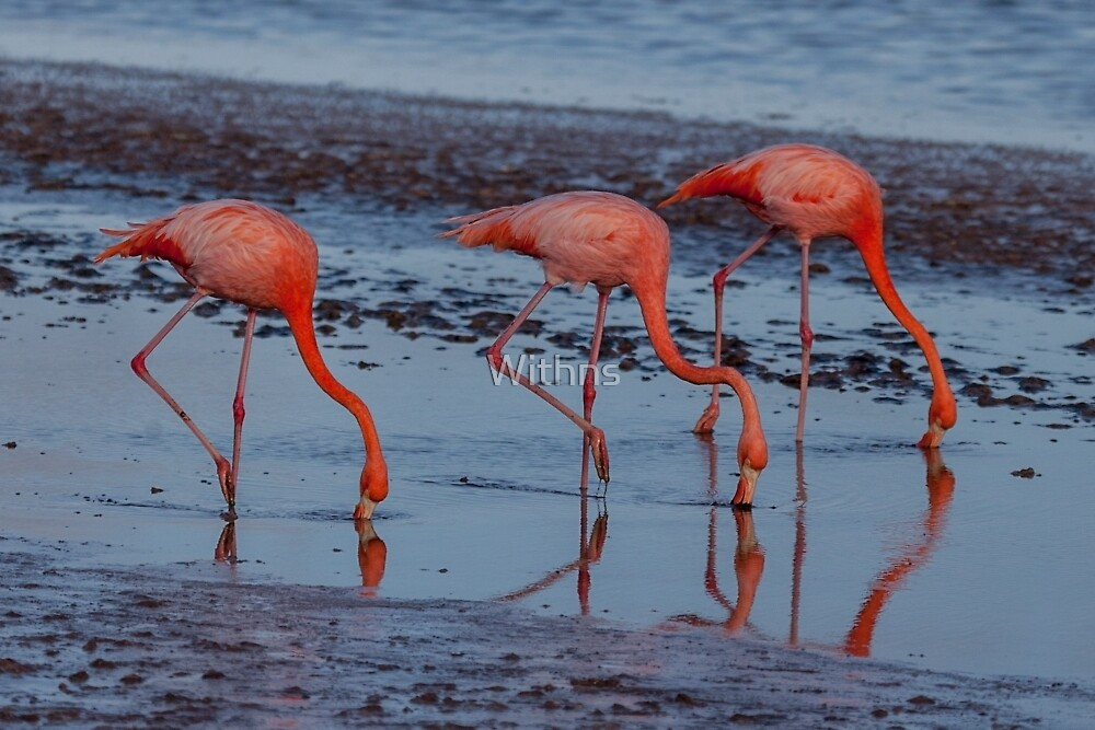 Flamingos by Withns