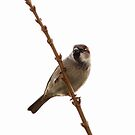 Male house sparrow on branch by Rustyoldtown