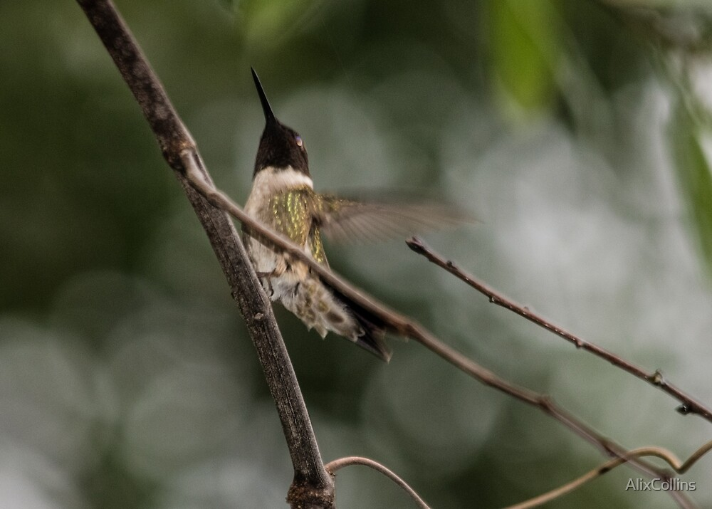 The ruby-throated hummingbird by AlixCollins