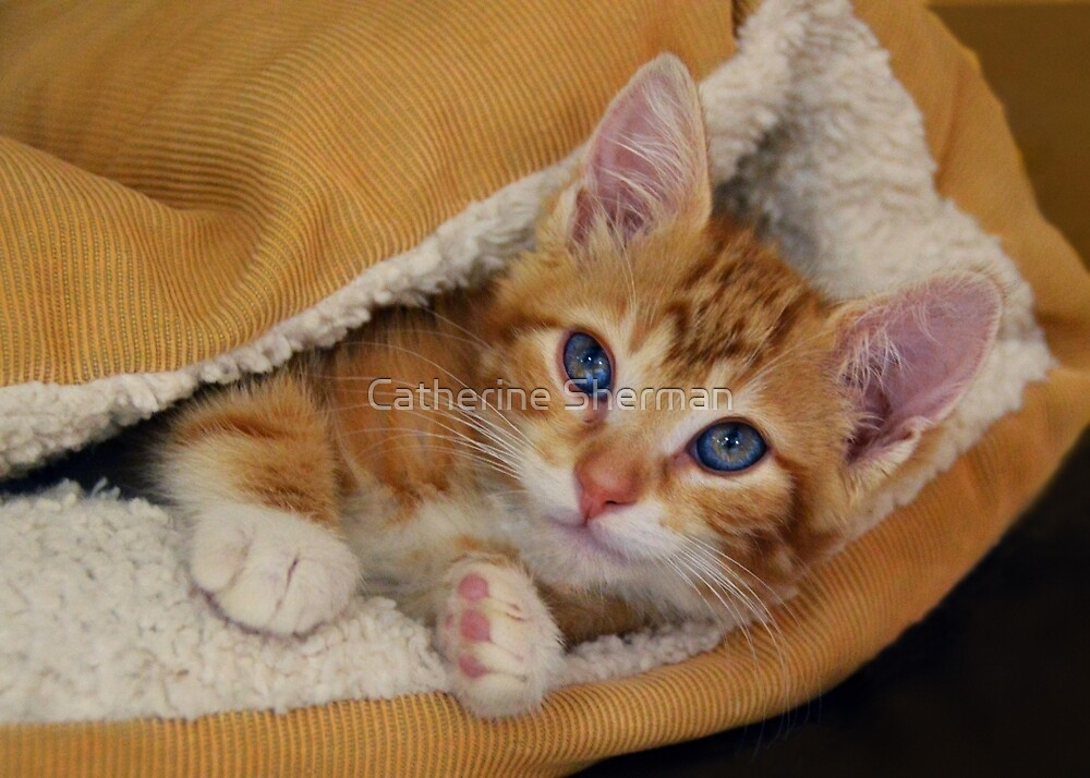 Orange Kitten Tucked into Bed by Catherine Sherman
