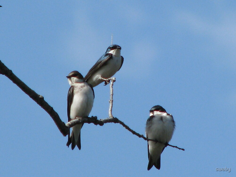Three Tree Swallows by swaby