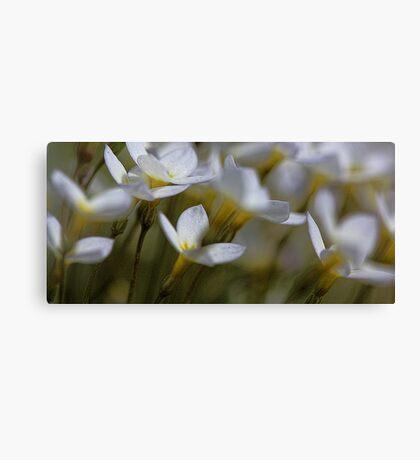 Bluets - Quaker Ladies -- Bridgton,  Maine Canvas Print