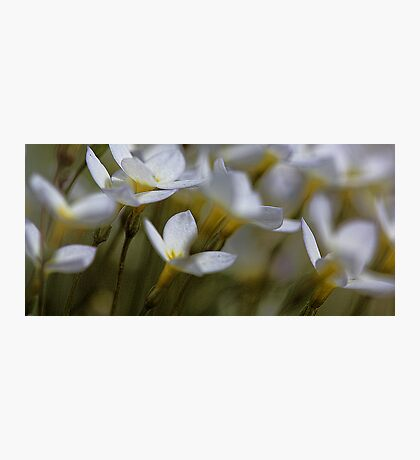 Bluets - Quaker Ladies -- Bridgton,  Maine Photographic Print