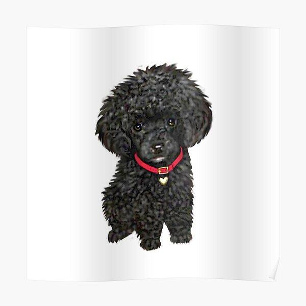 Poodle - Miniature Black Pup Poster