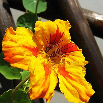 Orange nasturtium by beleja