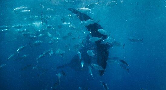 Whale Shark  by flomojo