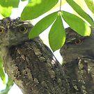 Tawny Frogmouth Owls 2010 by Annie Smit