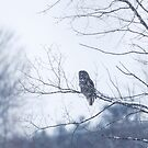 Great grey owl hunting from above by Jim Cumming