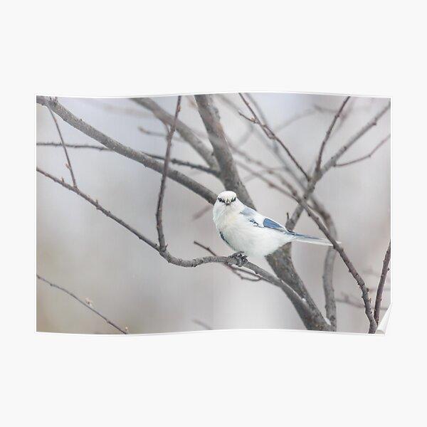 Azure tit, white prince Poster