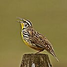 Meadowlark by Rodney55