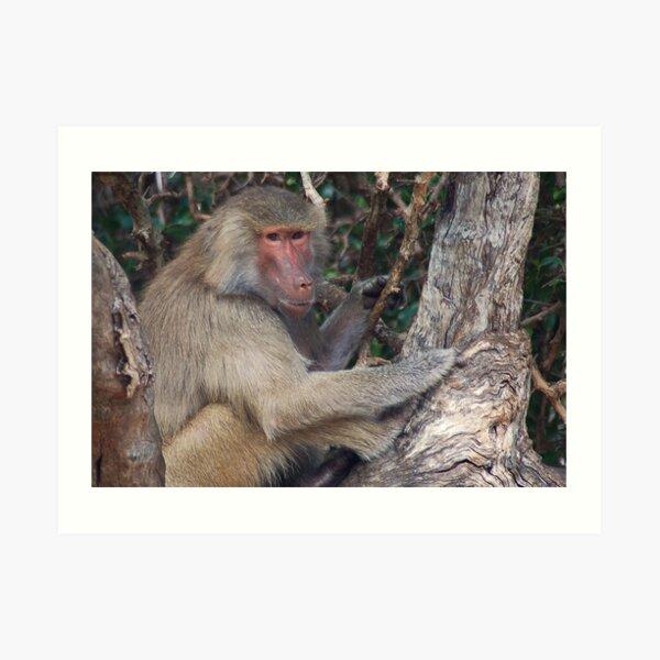 Baboon Art Print